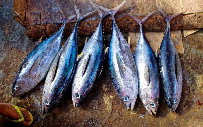 specie di tonno